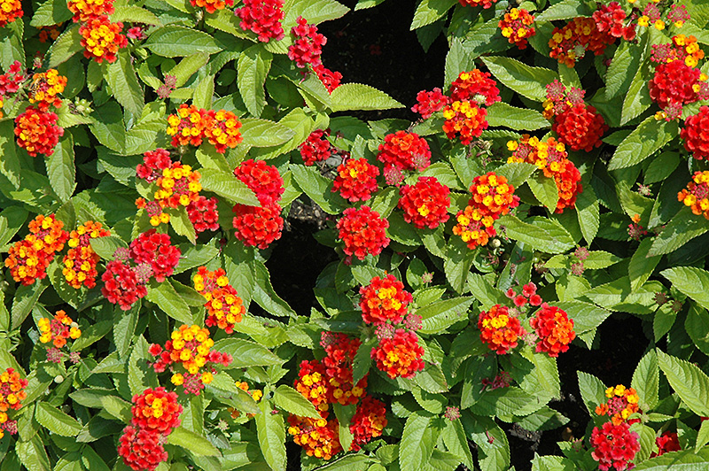 Lantana Hanging Basket Impressive Little Lucky™ Red Lantana Lantana Camara 'Little Lucky Red' In