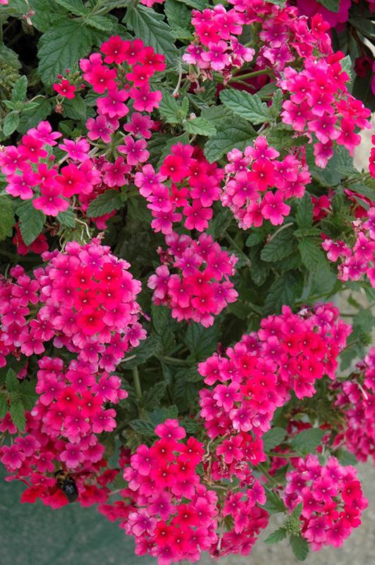 EnduraScape™ Hot Pink Verbena (Verbena U0027Balendopinu0027) At Sweetwater Garden