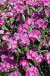 P.J.M. Rhododendron (Rhododendron 'P.J.M.') at Millcreek Gardens