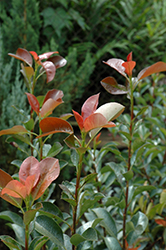 Red Tip Photinia (Photinia x fraseri 'Red Tip') at Millcreek Gardens