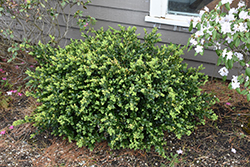 Green Beauty Boxwood (Buxus 'Green Beauty') at Millcreek Gardens